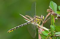 334120008 a wild female sulphur-tipped clubtail gomphus militaris perches on a plant leaf in southeast metropolitan park in austin travis county texas