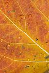 Close-up of autumn quaking aspen (Populus tremuloides) leaf