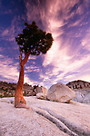 Olmstead Point, Jeffrey pine and granite boulder, Yosemite National Park, California, USA
