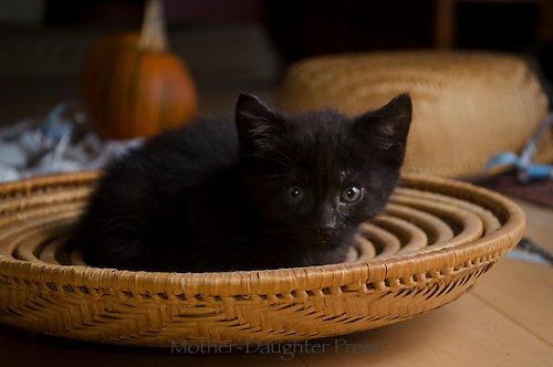 Black foster kitten sitting in baskets, fall Maine, USA