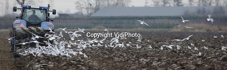 Foto: VidiPhoto<br /> <br /> RANDWIJK - En de boer, hij ploegde voort. Melkveehouder-met-akkerbouw-bloed Ronald Bakker maakt woensdag al fluitend de bouwgrond naast zijn melkveebedrijf (240 koeien) winterklaar voor het inzaaien van voederma&iuml;s voor volgend jaar. Het is het laatste stuk van 65 ha. bouwland dat nog bewerkt moet worden. Bovendien zijn de melkprijzen weer goed en is de normaal gesproken zware rivierklei in de Betuwe lekker droog. Ploegen gaat daarom nu van een leien dak en kost nauwelijks energie. In totaal bezit de VOF Bakker Holtmullershof 220 ha. grond, waarvan het grootste deel grasland. Daarnaast runt Ronald met vader en broer een loonwerkersbedrijf.