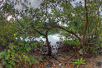 Mangroves at Hurricane Hole<br /> St. John<br /> U.S. Virgin Islands