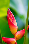 Heliconia bloom, in costa Rica, on the Osa Peninsula, in the southern part of the country, bordering the Pacific Ocean.
