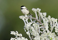 Carolina Chickadee (Poecile carolinensis), adult perched on icy branch, Dinero, Lake Corpus Christi, South Texas, USA