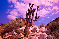 Halfmens tree.Richtersveld National Park, South Africa.Rare tree growing on rocky slopes .Pachypodium  namaquanum