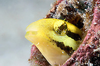 The striped poison-fang blenny, Meiacanthus grammistes, is just two inches long.  Mabul Island, Malaysia.