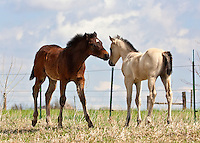 Mares and foals at the KeSa Quarter Horse Ranch near Fort Collins, Colorado. The ranch has over seventy brood mares and four stallions with bloodlines of Blue Valentine, Hancock, and Leo.