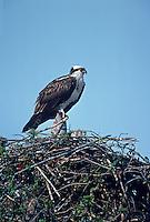 562057010 wild osprey pandion halaietus on nest ding darling national wildlife refuge sanibel island florida