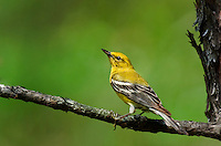 592240005 a wild male pine warbler setophaga pinus - was dendroica pinus - perches in a tree in the angelina national forest in jasper county east texas united states