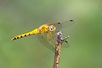 362750011 a wild female spot-winged meadowhawk sympetrum signiferum perches on a dead stick in las cienegas state natural area santa cruz county arizona united states