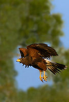 541950082a a wild adult harris hawk parabuteo unicinctus in flight on a private ranch in the rio grande valley of south texas