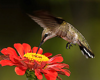 Black-chinned Hummingbirds are exceptionally widespread, found from deserts to mountain forests.