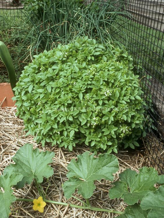 Basil Spicy Globe (Ocimum basilicum Spicy Globe) in vegetable garden, showing dwarf round form next to squash vine