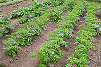 Potatoes vegetable growing in garden hills in rows in farm patch