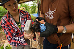 Volunteer wildlife carers Maren and Andrew of Tolga Bat Hospital weighing and measuring microchipped Spectacled Flying Fox orphans (Pteropus conspicillatus)