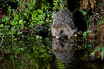 European Hedgehog, wild and rescued