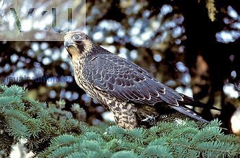 Immature female Peregrine Falcon (Falco peregrinus), North America.