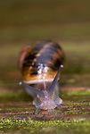 Garden Snail, Helix aspersa, crawling over wet decking in garden