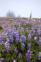 Field of lupine in fog, Edith Creek Basin, Paradise, Mount Rainier National Park, Washington, USA
