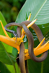 Common Tree Snake on a yellow heliconia flower(Dendrelaphis punctulata)