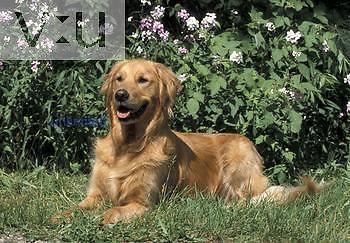 Golden Retriever breed of Domestic Dog.