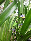 Flowering indigenous 'uki'uki grass, Big Island.