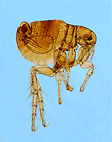 INSECTS<br /> Mount Flea, LM 40x mag<br /> Fleas can jump 100 times their height