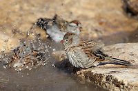 Chipping Sparrow juveniles bathing