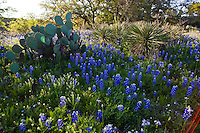 Texas Bluebonnet Wildflowers Yucca and Prickly Pear cactus in spring meadow at Lake Buchanan, Texas Hill Country