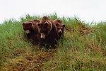 Brown bears, McNeil River Bear Sanctuary, Alaska