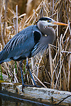 Great blue heron, Washington Park Arboretum, Seattle, Washington