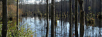 A mix of wetland hardwoods at the edge of a cypress swamp