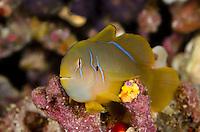 Lemon Coralgoby, Gobiodon citrinus, Bligh Water, Fiji, Pacific Ocean