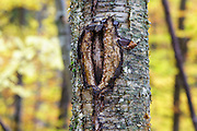 October 2016 - A man-made wound on a yellow birch tree along the Mt Tecumseh Trail in New Hampshire. This wound is the direct result of man not using proper protocol to remove a painted trail blaze from the tree. The blaze was painted on the tree in 2011, and then improperly removed (by cutting and peeling the bark off) from the tree in the spring of 2012. See what it looked like before it was removed: http://bit.ly/1Q4W1Pj