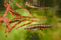 Least Killifish<br />