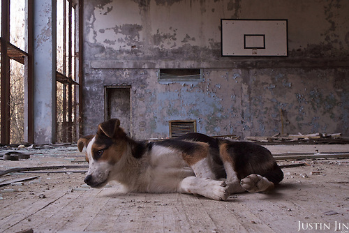 A stray dog in a sport hall in Pripyat, a ghost town left deserted by the nuclear disaster in the Chernobyl power station nearby. 30 years on, the city is still heavily contaminated, unfit for human life. <br /> <br /> The Chernobyl nuclear disaster happened on 26 April 1986.
