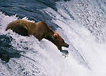 Migrating salmon are a staple food of brown bears, which often develop superb fishing skills.  Brooks River Falls, Katmai National Park, Alaska, USA.