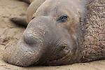bull elephant seal face