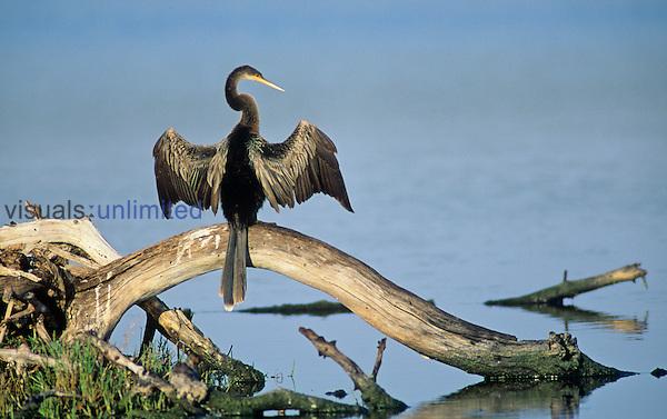 Anhinga (Anhinga anhinga) drying its wings, Ding Darling National Wildlife Refuge, Florida, USA.