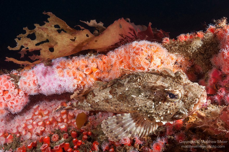 HMCS Yukon, Mission Beach, San Diego, California; a Cabezon fish resting amongst colorful anemones which are growing on the structure of the Yukon