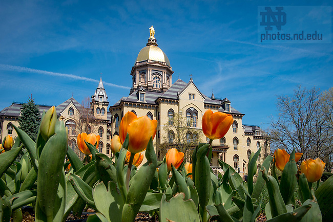 April 12, 2017; Main Building and tulips (Photo by Matt Cashore/University of Notre Dame)