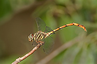 341700009 a wild female broad-striped forceptail dragonfly aphylla angustifolia perches on a small stick near santa ana national wildlife refuge in south texas