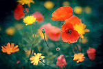 Flower bed with daisies and poppies.<br />
