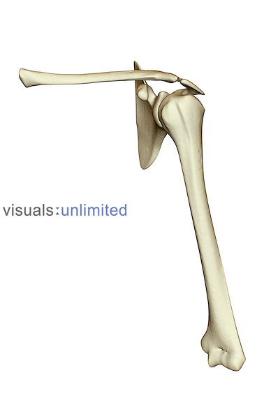 An anterior view of the left pectoral girdle. It includes the clavicle, the humerus and the scapula. Royalty Free