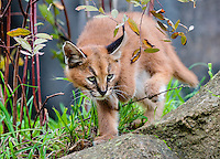 "Young Caracal Kitten (Caracal caracal).  Caracals are found in Africa to Central Asia and India.  The word ""Caracal"" comes from the Turkish word ""karakulak"" which means ""black ear."""