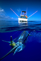 A fishing lure in it?s mouth this blue marlin.