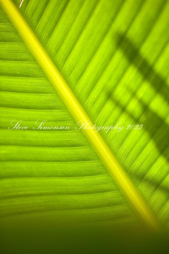 Banana Tree Leaf detail<br /> Virgin Islands