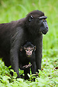 Female crested black macaque with baby in burn-slashed area near village, (Macaca nigra), Indonesia, Sulawesi; Endangered species, threatened through loss of habitat and bush meat trade, species only occurs on Sulawesi.