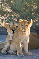 Lioness and her cub rest in the shade in the Serengeti National Park, Tanzania, East Africa