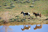 Mustang reflection, McCullough Peaks Mustangs, Cody Wyoming